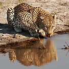 Leopard Reflection 2 - Okavango Delta, Botswana by Sharon Bishop