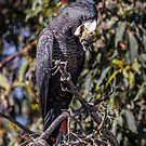 Red Tailed Black Cockatoo by robcaddy
