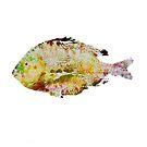 Sheepshead Fish by Steven Gibson