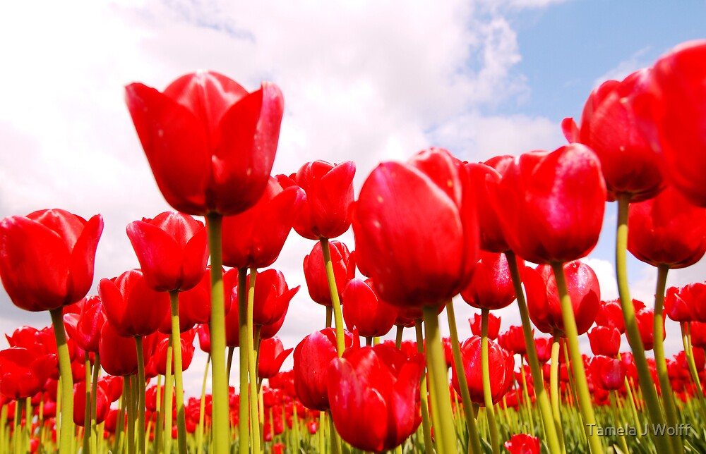 Tulip Fantasy by Tamela J Wolff