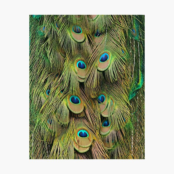 Green, Blue, and Gold Peacock Tail Feathers Photographic Print