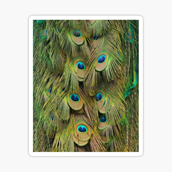 Green, Blue, and Gold Peacock Tail Feathers Sticker