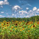 The Sunflower Field by TJ Baccari Photography