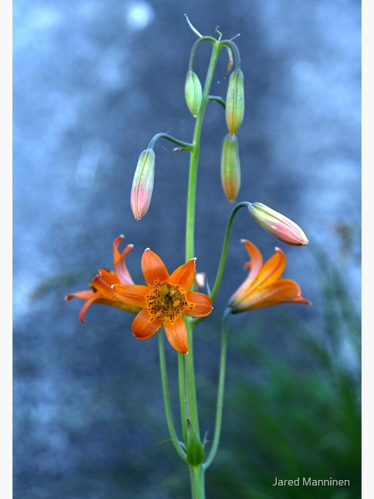 Sierra Tiger Lily (Lilium parvum) by JaredManninen