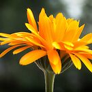 Sweet Marigold by Kasia-D