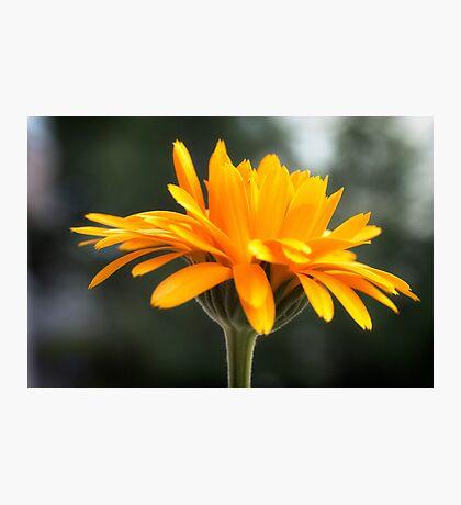 Sweet Marigold Photographic Print