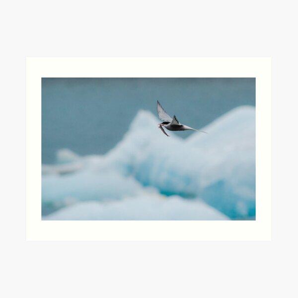 Arctic Tern, Jökulsárlón Art Print