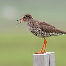 Redshank by Peter Clarke