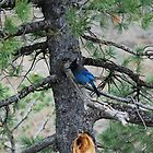 Stellar's Jay (Cyanocitta stelleri) at the Continental Divide, United States by Gold-Coin