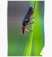 Soldier Beetle Poster