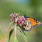 Monarch 2018-1 by Thomas Young