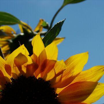 Alberta Sunflower Blue Sky by alabca