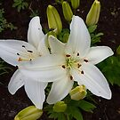 White Oriental Lily by Vickie Emms