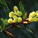 Wattle by Eve Parry