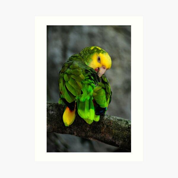 Yellow Headed Amazon Art Print