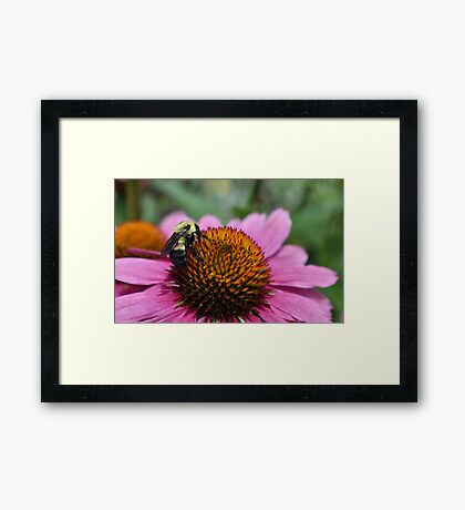Bumblebee In Search Of Pollen Framed Print