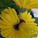 Gerbera Daisy by Tina Billhymer
