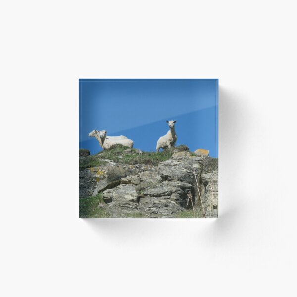 Sheep on the look out Acrylic Block
