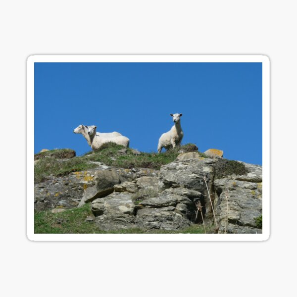 Sheep on the look out Sticker