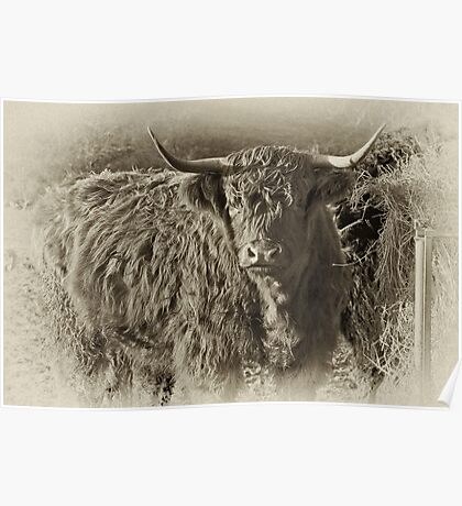 Highland Coo #2 Poster