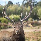 Grampians Elk  by John Davies