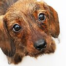 """""""Peach Basket Ketch-em-Up"""" -Dachshund, Puppy, Wire, Wirehair, Hair, Coat, Whiskers, Beard, Brindle, Boar, Red, Dapple, Pattern, Cute, Pet, Dog, Doxie, Baby, Wiener, Hot, Sausage, Hound by CanisPicta"""