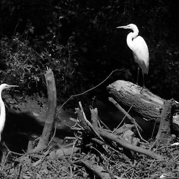 #831  Great Egrets On The Banks Of The Passaic River by MyInnereyeMike