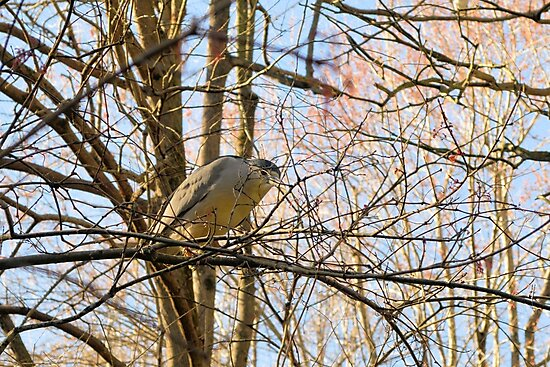Resting Heron by Dawne Dunton