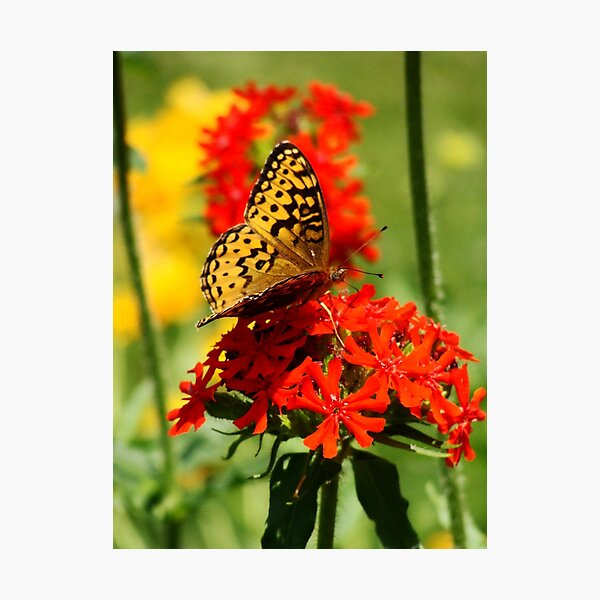 Gold Winged Butterfly on an Orange Flower Photographic Print