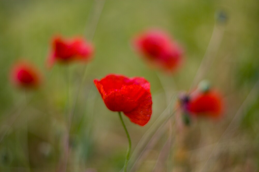 Poppies by Steve Chilton