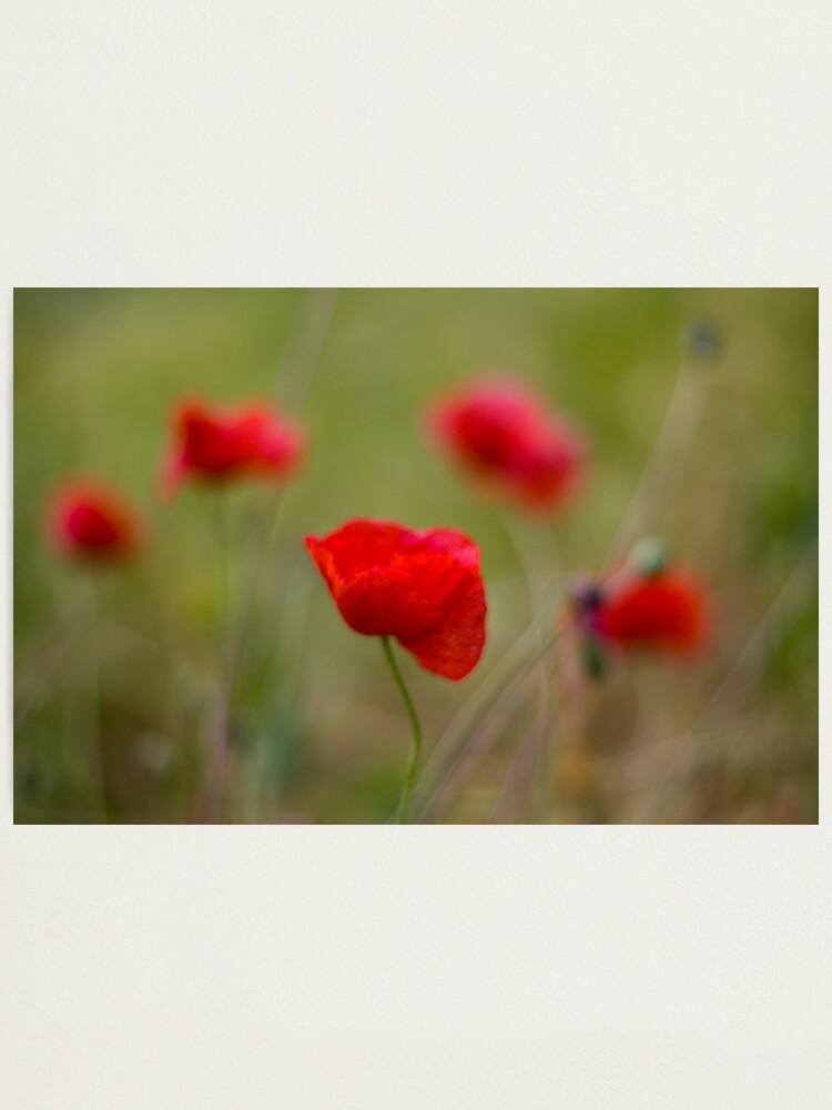 Alternate view of Poppies Photographic Print