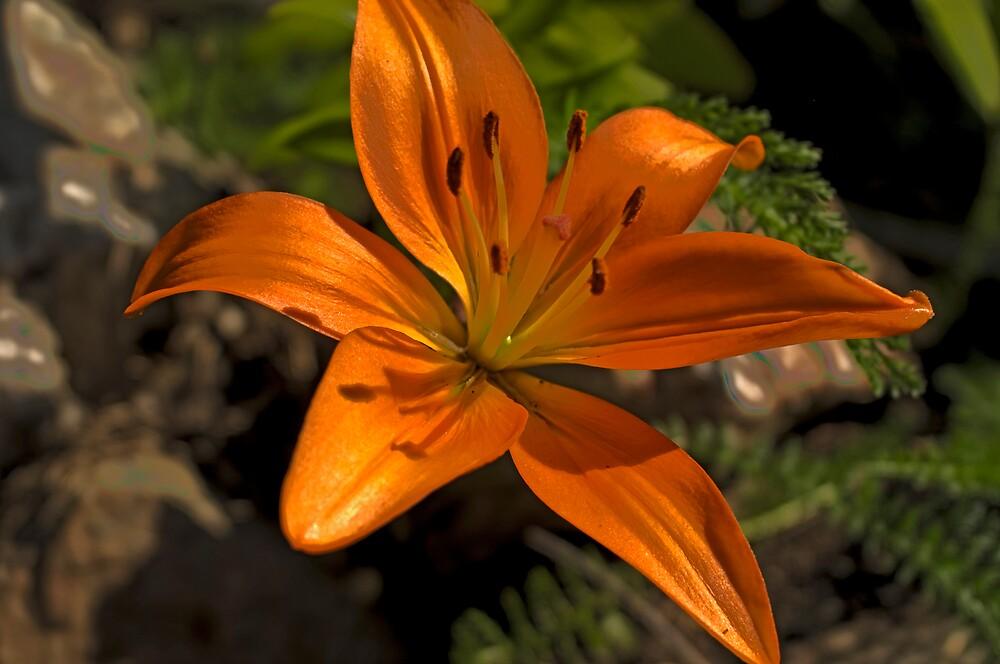 Lily by Bryan Spellman