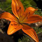 Lily by Bryan D. Spellman