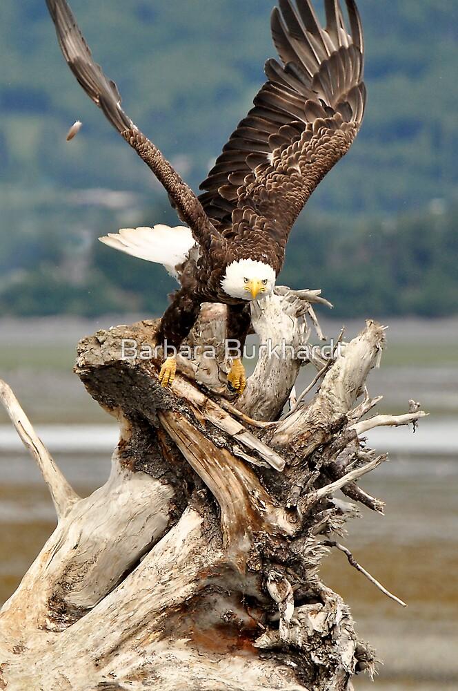 Bald Eagle - The Launch by Barbara Burkhardt