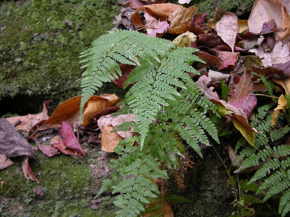 Ferns at Rondel State Park by circa24