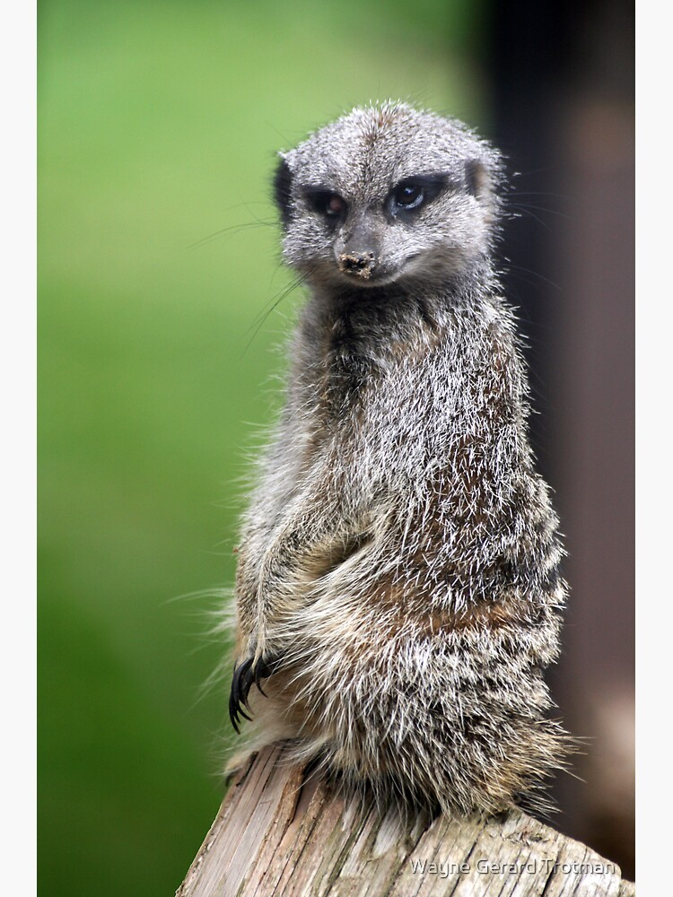 The Wily Meerkat by redmoondragon