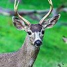 Watchful Buck by Maurine Huang