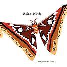 Atlas Moth by rohanchak
