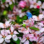 Indigo Bunting Amongst The Blossoms by Geno Rugh