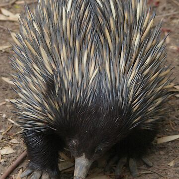 Echidna by Clare101