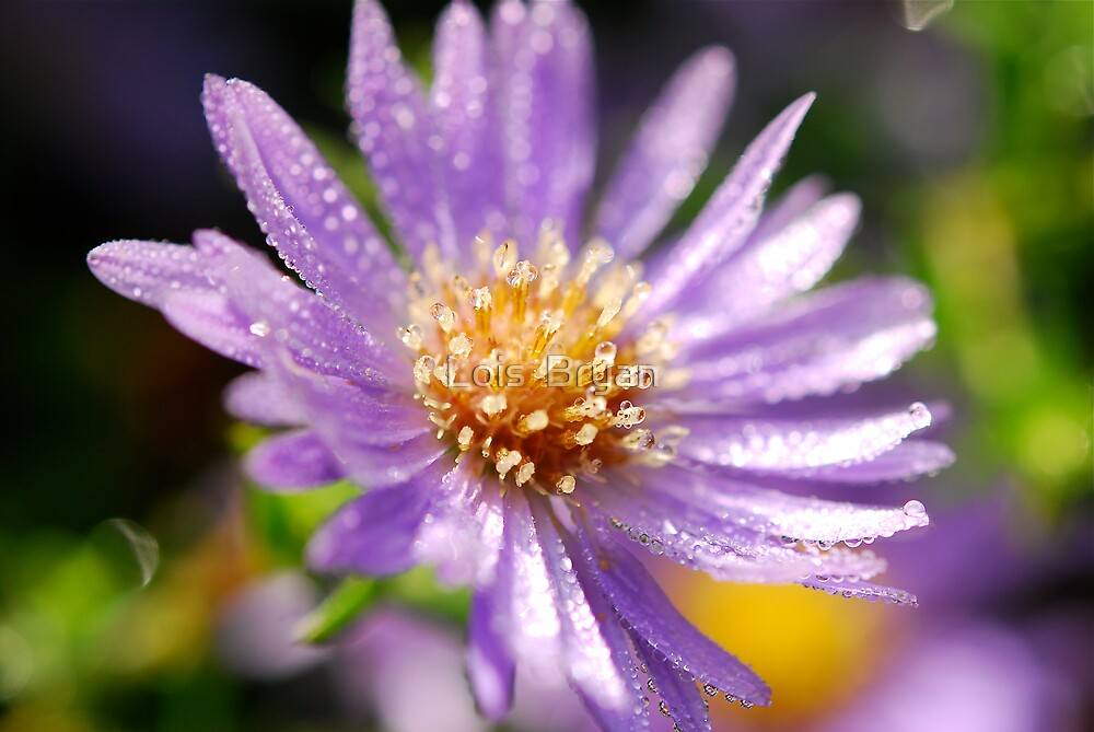Dewy Aster by Lois  Bryan