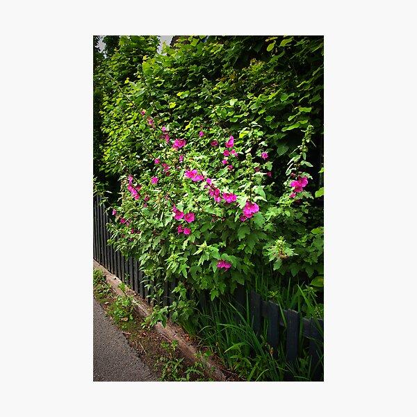 Hollyhock fence  Photographic Print