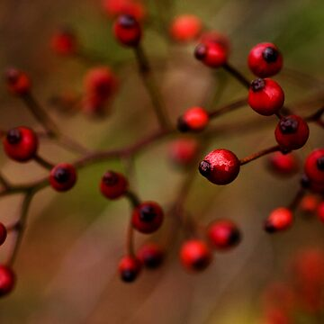 red berries by adamgrahamphoto