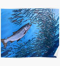 Chinook Salmon Poster