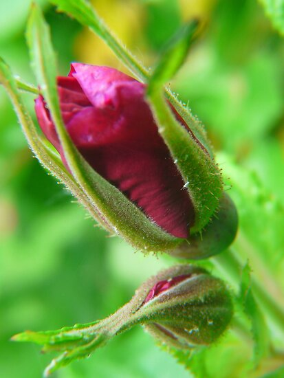 Rose Buds by MaeBelle
