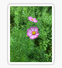 Pink Cosmos Flowers with Foliage Background Sticker