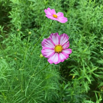 Pink Cosmos Flowers with Foliage Background by silverdragon