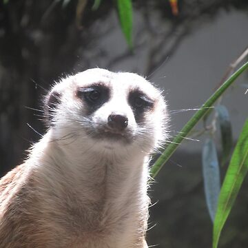 Meerkat Stare by TheVioletWitch