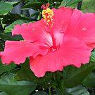 Red Hibiscus  by JoyMurray