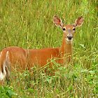 Pretty White-tailed Deer  by lorilee